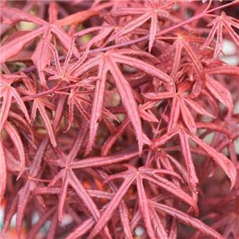 Acer palmatum Starfish P60 180+