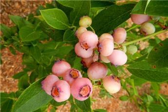 Vaccinium Pink Bonbons ® C2L - Myrtillier ROSE et CREME très sucrée mi-saison