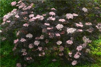 Sambucus nigra Black Lace 150 175 Pot C70 Plante XXL