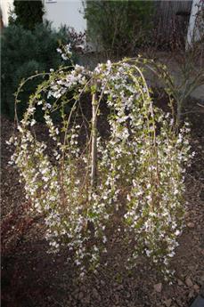 Prunus Incisa Frilly Frock Demi Tige 12 14 Pot C18L