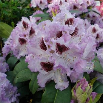 Rhododendron blue peter c23