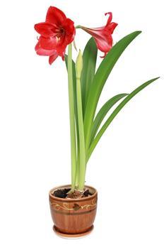 Amaryllis rouge * 1 pc cal.34/36