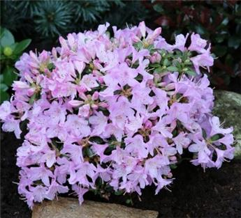 Rhododendron Snipe 20 30 cm Pot C2 ** Nain **