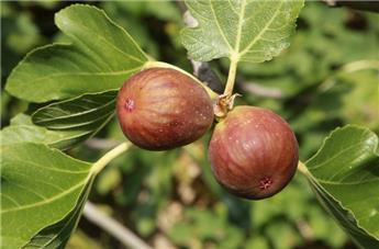 Ficus carica Brown Turkey  Pot C25  Buisson Xtra Fort  **Bifère et Autofertile - Résistant au froid**