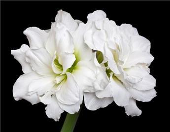 Amaryllis double blanc * 1 pc cal.28/30 ** En boite décorative **