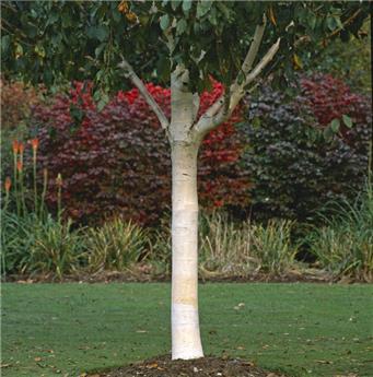 Betulla ermanii grayswood hill Baliveau 175 200 cm Pot C10