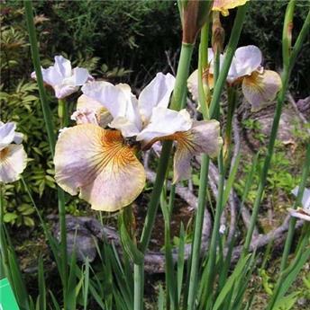 Iris Sibirica Sarah Tiffney * 1 Pc ** Vivace **