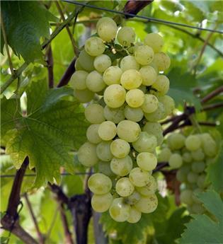 Vitis vinifera Fanny Pot C2L ** Très rustique et résistant **
