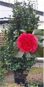 Camellia japonica Rouge XXXTRA 25 ans Ht +/- 250 cm * Touffu, bien formé **