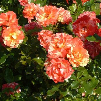 Rosier Alfred Sisley ® Pot  **Parfumé**