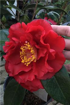 Camellia japonica Bob hope Pot C4 ** 5 ans **