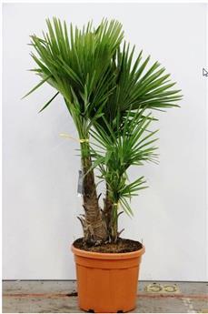 Trachycarpus Fortunei Pot P45 Ht 160 cm Multi troncs