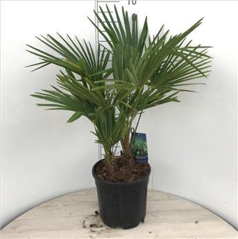 Trachycarpus Fortunei Pot P30 Ht 80 100 cm 2-3 troncs
