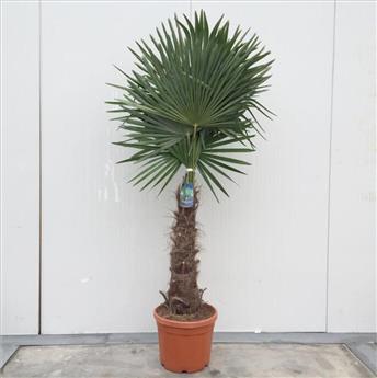 Trachycarpus Fortunei Pot P45 Ht 175 200 cm 1 tronc