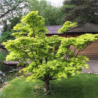 Acer shirasawanum Aureum 175 200 Pot C25L