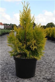Thuja plicata Forever Goldy 50 60 cm Pot C7.5L