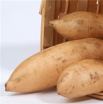 Ipomoea batatas Bonita Pot C1.5 ** patate douce jaune **