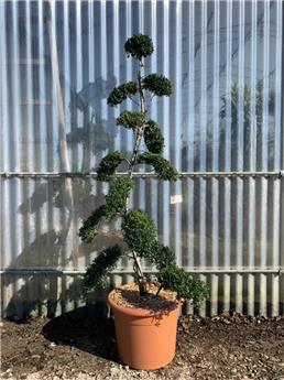 Ilex crenata Bonsai 1 tronc Nuage  120 140 cm Pot C20