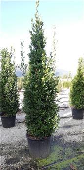 Laurus nobilis 200 250 cm Pot C90 Fomé en cône  XXL ** Laurier sauce **