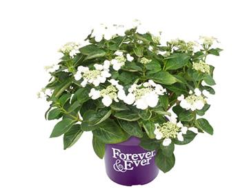 Hydrangea macrophylla Forever and Ever Teller Blanc Pot P23 - C5L