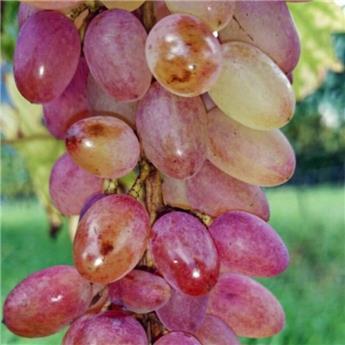 Vitis vinifera Miss Rosé Pot C3 ** Très résistante aux maladies et au froid **