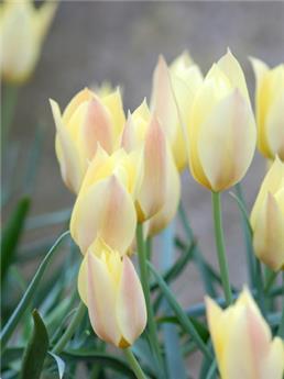 Tulipe Honkey Tonk* 10 pc cal.6/+ ** Botanique **