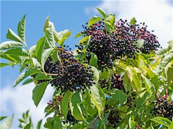 Sambucus nigra Pot C5L **Sureau noir **
