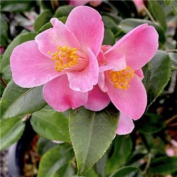 Camellia japonica Minato-No-Akebono (rose) Pot C7.5 7 ans ** Parfumé **