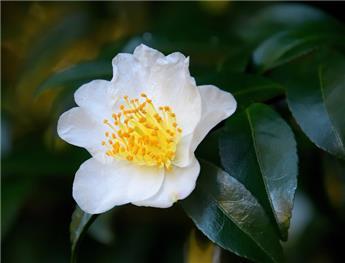 Camellia sasanqua Narumigata (blanc) Pot C4  5 ans ** Parfumé **