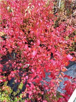 Spiraea prunifolia Plena Pot C3