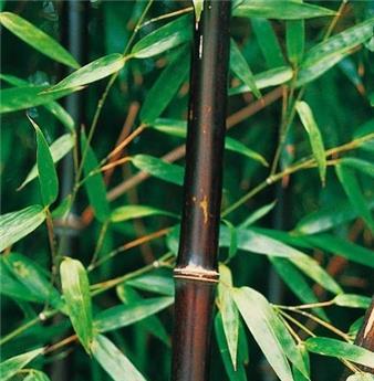 Phyllostachys nigra 250 300 Pot C15-18L