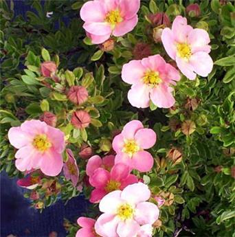Potentilla fruticosa Pink Paradise Pot C3.6