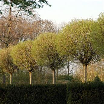 Prunus eminens Umbraculifera (Globosa) Demi Tige 8 10 Pot C18L