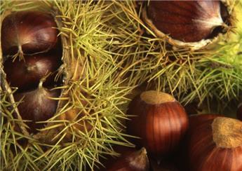 Castanea sativa De Lyon Haute Tige Pot