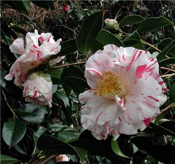 Camellia japonica Betty Sheffield  7 ans c7.5