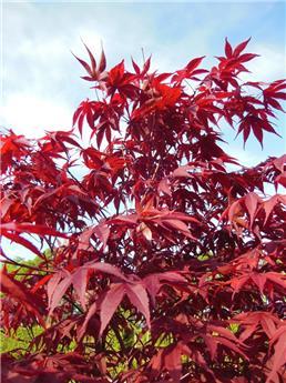 Acer palmatum atropurpureum c32