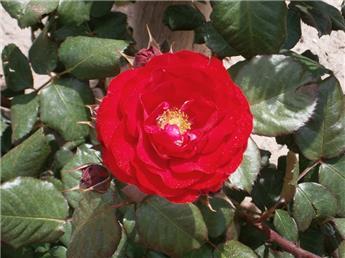 Camellia japonica Blaze of glory