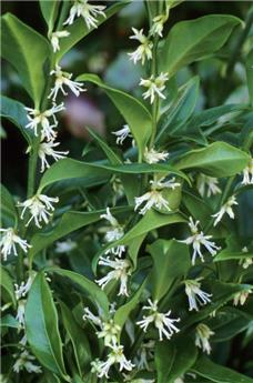 Sarcococca hookeriana Fragrant Mountain (PBR) Pot C2