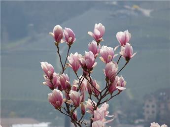 Magnolia soulangeana Demi Tige 120 cm Pot C32