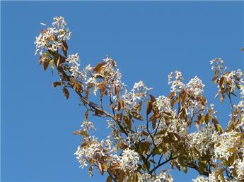 Amelanchier lamarckii multi-troncs 150 175 CM Pot C25 cépée