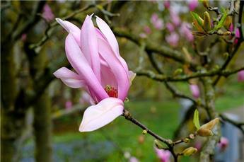 Magnolia Galaxy 12-14