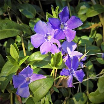 Vinca minor blue an gold P15