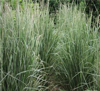 Calamagrostis acutiflora Overdam Pot C6.5
