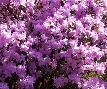 Rhododendron Praecox Pot C4