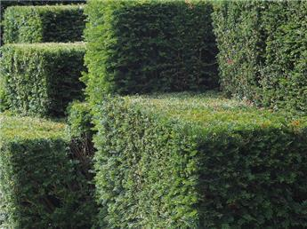 Taxus baccata 050 060 touffe motte