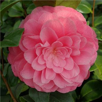 Camellia japonica Nuccio´s Cameo 10 ans 100 120