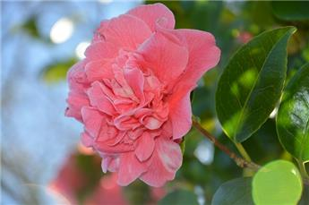 Camellia japonica Cassandra Pot C4 ** 5 ans **