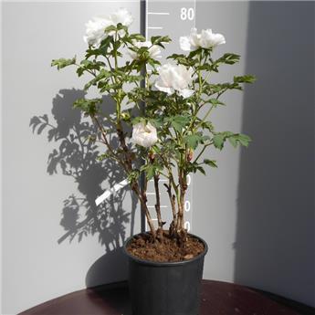 Paeonia suff Xiang Xiu c9