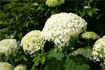 Hydrangea arborescens Annabelle Pot C15 XXL