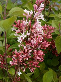 Syringa microphylla Pink Perfume Buisson Pot C12 ** Remontant **